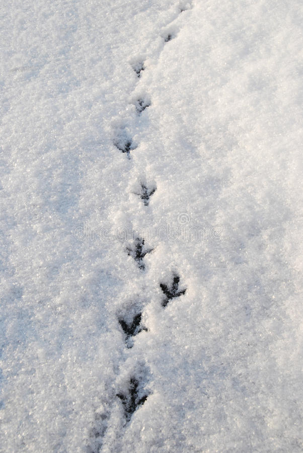 Spår av en duva i snön på solljus Vinter royaltyfri fotografi