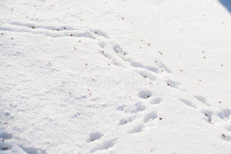 Spår av möss i snön, drivor arkivfoton