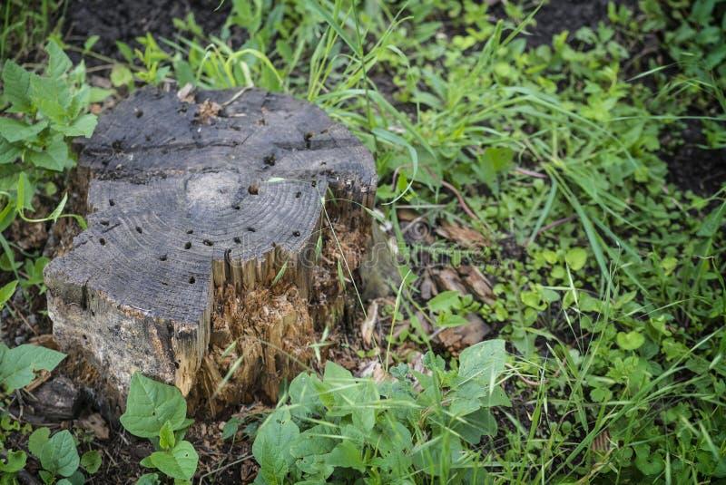 Spår av termit äter på gammal stubbe royaltyfri bild