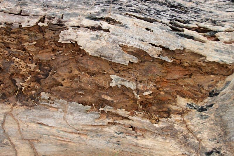 Spår av termit äter på gammalt ruttet trä royaltyfria foton