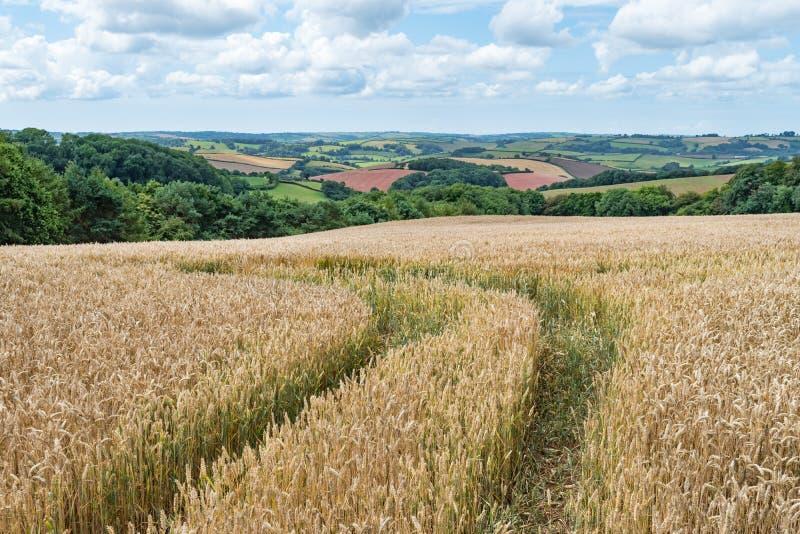 Spår som kör av till och med ett guld- havrefält med sikter över färgglade fält i den Devonshire bygden royaltyfri bild