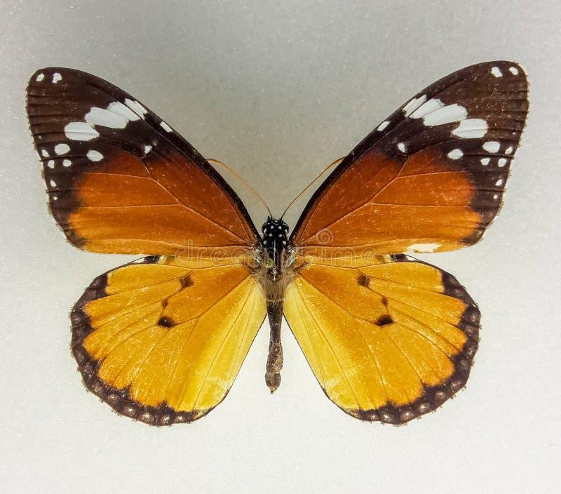 Spécimen africain de papillon de monarque images libres de droits
