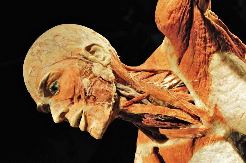 Spécimen d'humain de Plastinated photos stock