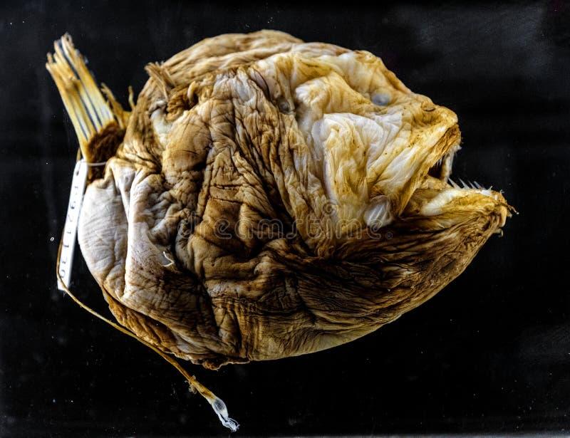 Spécimen d'un poisson des grands fonds de Bufoceratias Wedli dans l'exh zoologique photos stock