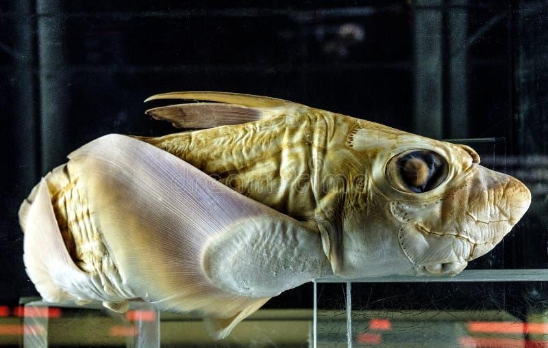 Spécimen d'un poisson des grands fonds de rostrata de chimères dans l'exhi zoologique images libres de droits