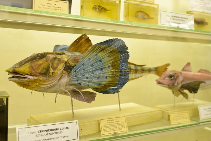 Spécimen de poissons dans le musée photo libre de droits