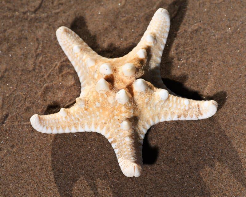 Spécimen sec des étoiles de mer noueuses se trouvant sur le sable humide sur la plage Étoile de mer à cornes Chocolat Chip Sea St photographie stock libre de droits