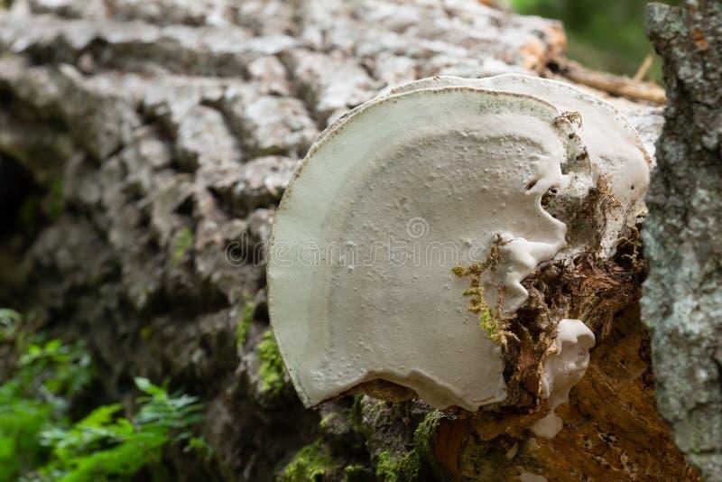 Spód artysty conk, Ganoderma applanatum dorośnięcie na topolowym drewnie fotografia stock