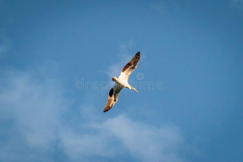 Spód pelikana Latający koszt stały zdjęcia stock