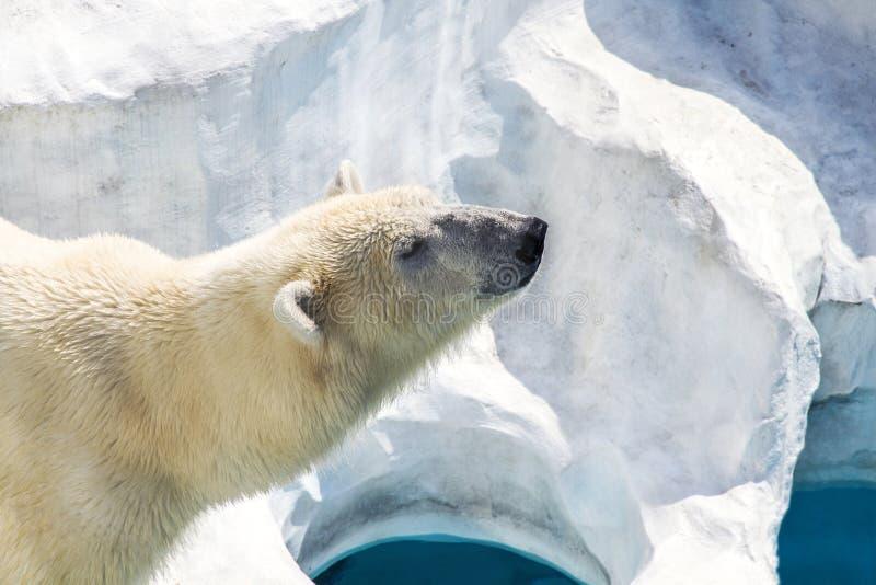 spójrz biegunowy bear zdjęcie royalty free