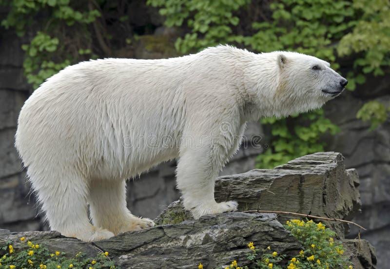 Download Spójrz biegunowy bear obraz stock. Obraz złożonej z zoologia - 57672223