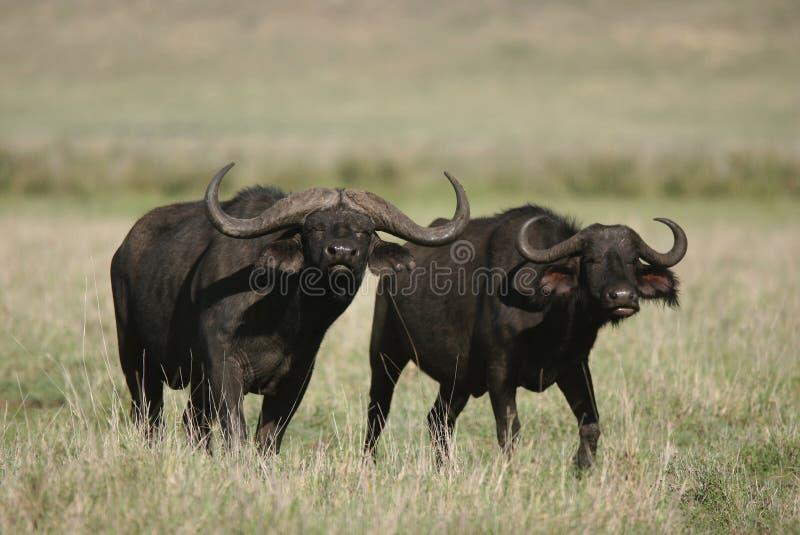 spójrz co ciekawe afrykańskie bawołów fotografia stock