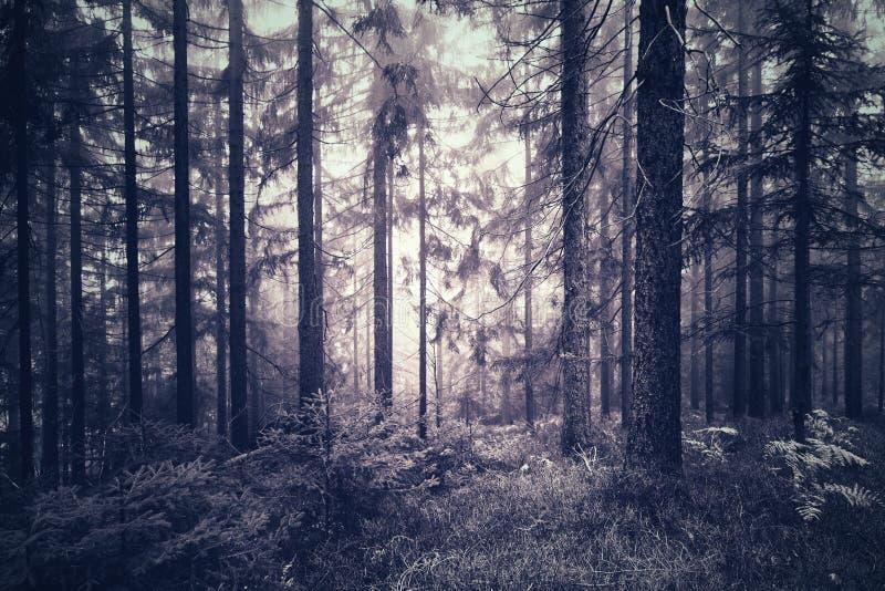 Spöklika blåa rosa färger färgar den dimmiga skogen royaltyfri foto