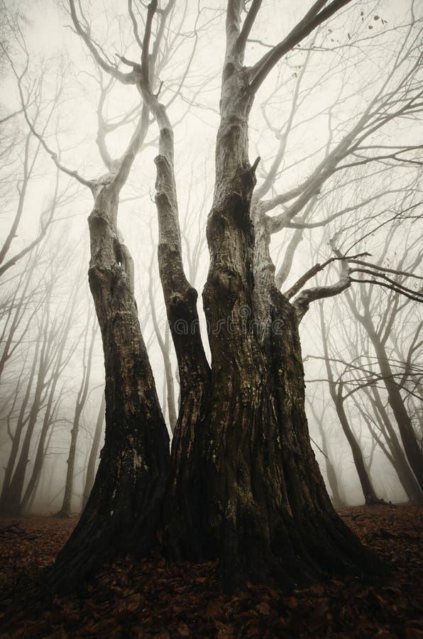 Spöklikt gammalt träd med stora vridna filialer royaltyfria foton