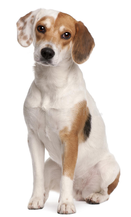 Spürhund, 1 Einjahres stockbilder