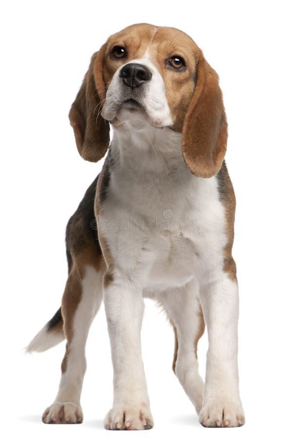 Spürhund, 1 Einjahres, stehend stockfotos