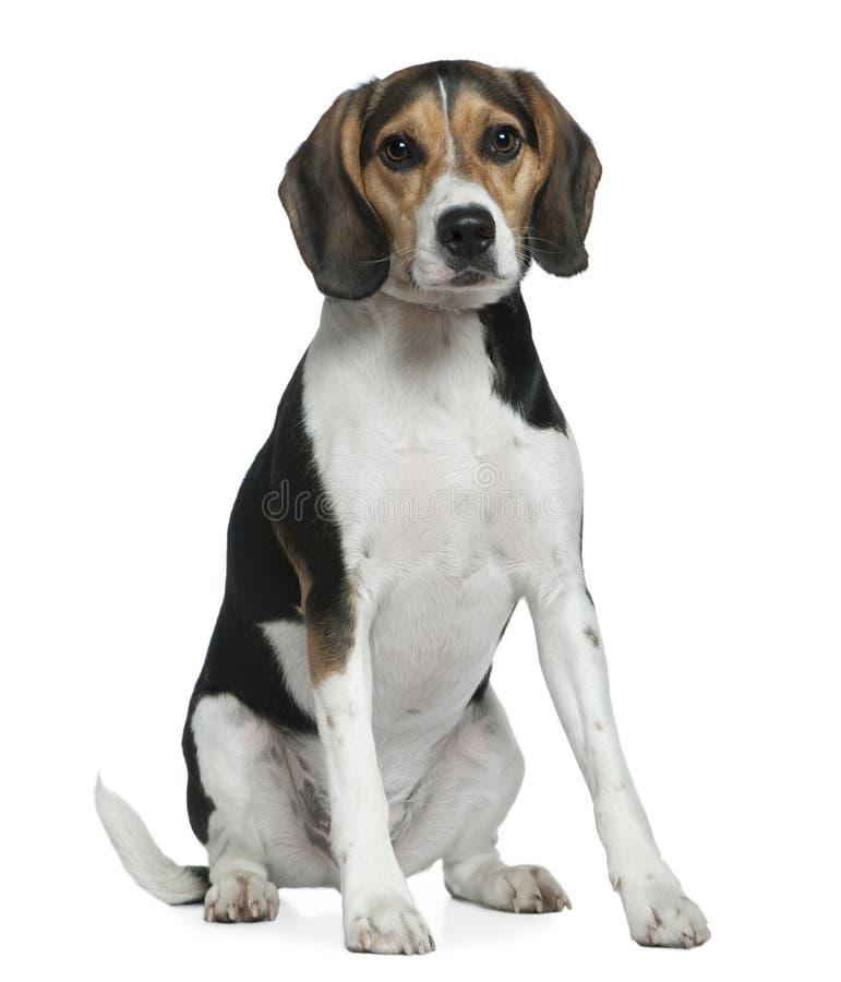 Spürhund, 2 Jahre alt, sitzend stockbild