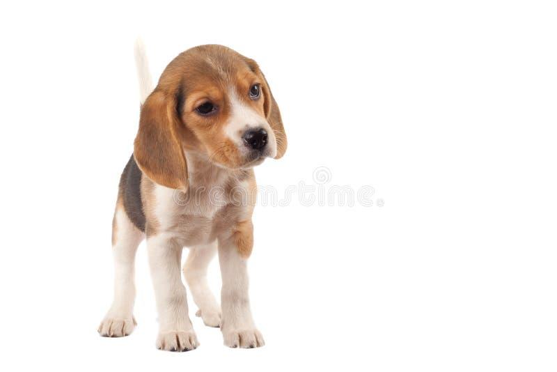 Spürhund (3 Monate) lizenzfreies stockbild