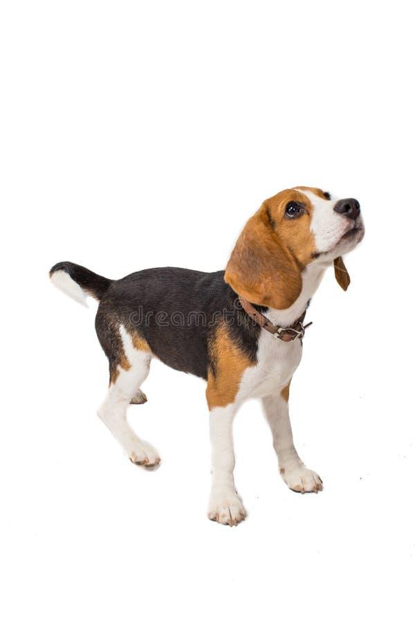 Spürhund auf einem weißen Hintergrund stockbild