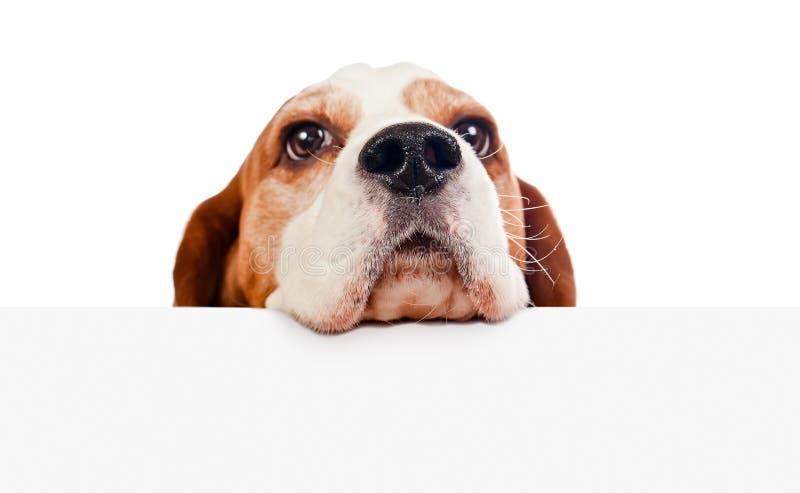 Spürhund auf weißem Hintergrund lizenzfreie stockfotografie