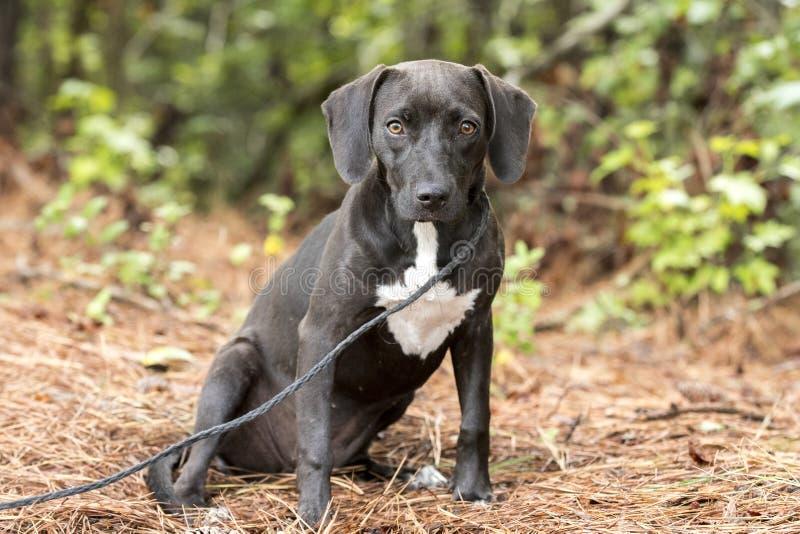 Spürhund-Dachshundhündchen draußen auf Leine stockfotos