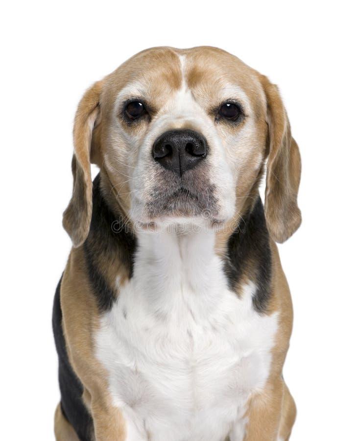 Spürhund, der vor weißem Hintergrund sitzt stockbilder