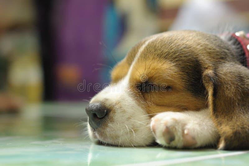 Spürhund-Hundeschlaf stockbild