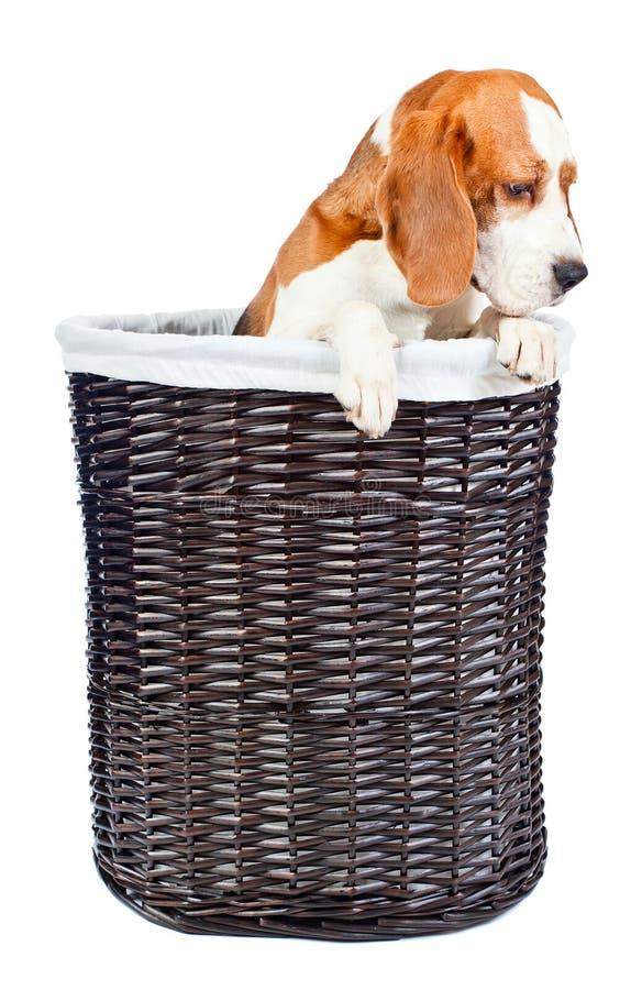 Spürhund im Korb lizenzfreies stockbild