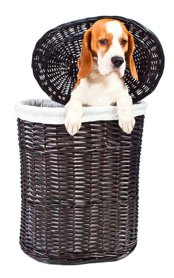 Spürhund im Korb lizenzfreie stockbilder