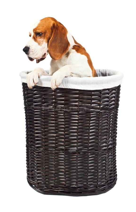 Spürhund im Korb stockfotografie