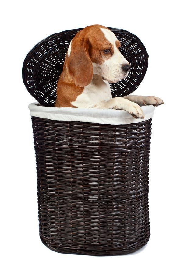 Spürhund im Korb stockbilder
