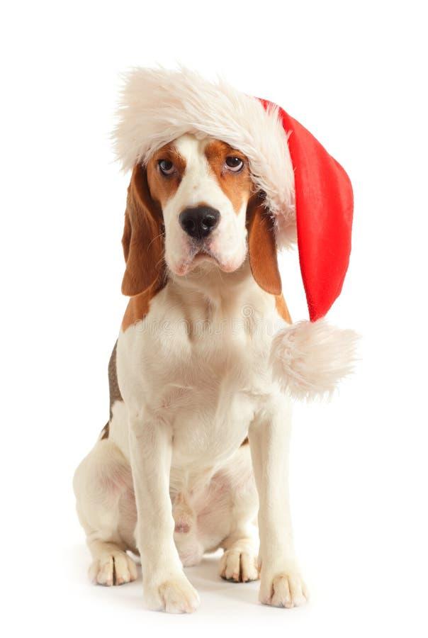 Spürhund im roten Hut stockfoto