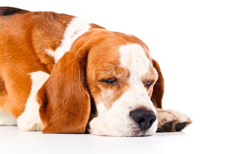 Spürhund lokalisiert auf Weiß lizenzfreie stockfotos