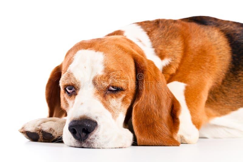 Spürhund lokalisiert auf Weiß stockfoto