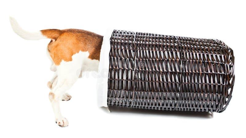 Spürhund und Korb für Leinen stockfotografie