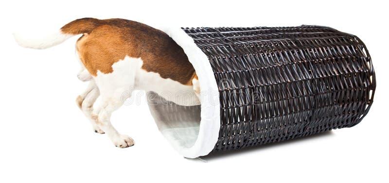 Spürhund und Korb für Leinen lizenzfreies stockfoto