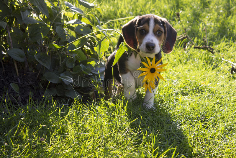 Spürhund-Welpe, der hinter Blume sich versteckt stockfoto