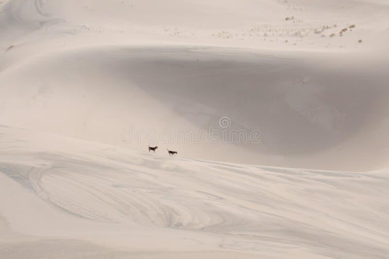 Spürhunde am Rand eines Sandes rollen stockfotos