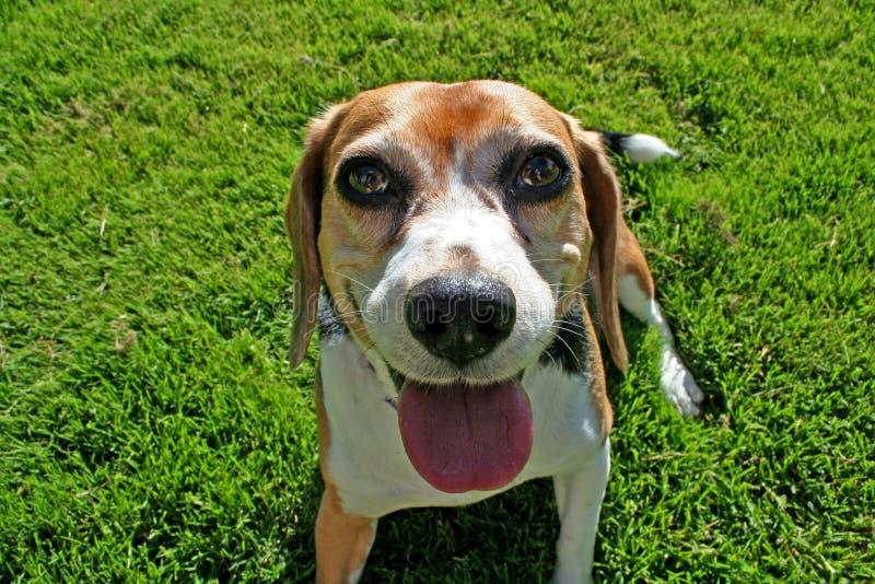 Spürhundhund auf Gras lizenzfreie stockfotografie