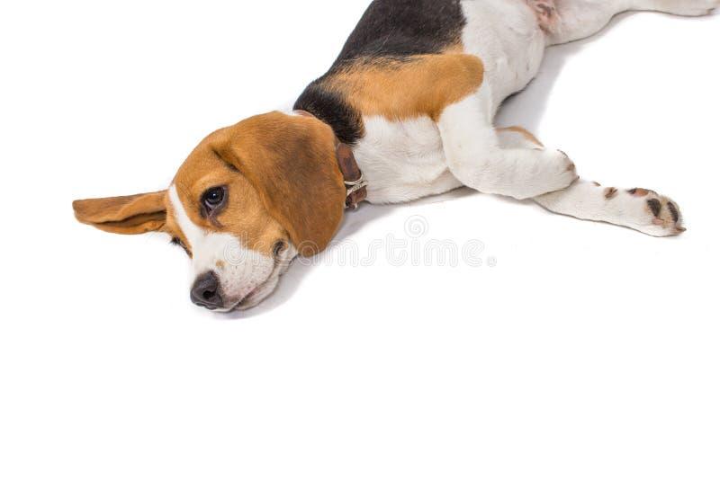 Spürhundhund auf weißem Hintergrund stockbild