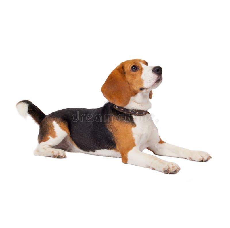 Spürhundhund auf weißem Hintergrund stockfotos