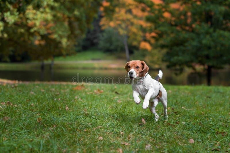 Spürhundhund, der auf dem Gras läuft lizenzfreie stockfotos