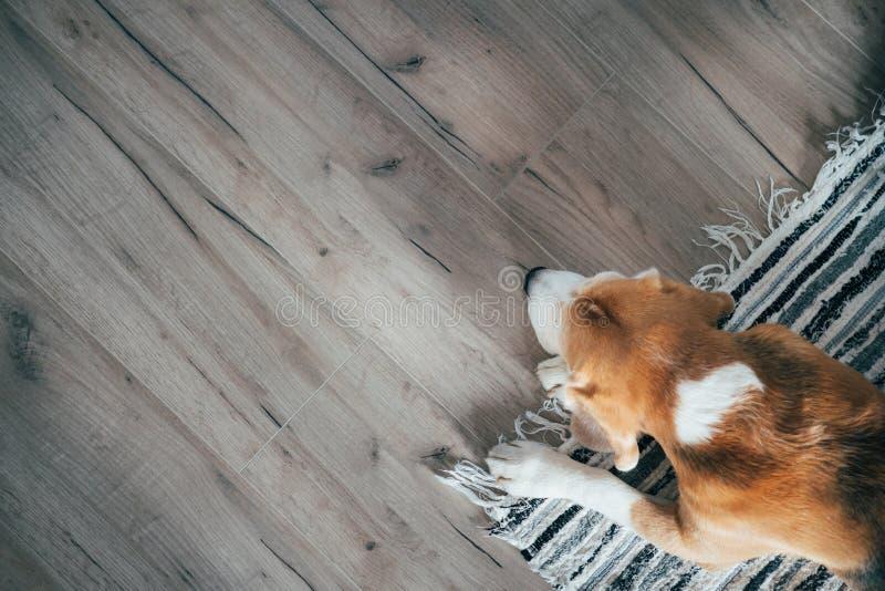 Spürhundhund, der friedlich auf gestreifter Matte auf Laminatboden schläft Haustiere im gemütlichen Hauptdraufsichtbild lizenzfreie stockfotos