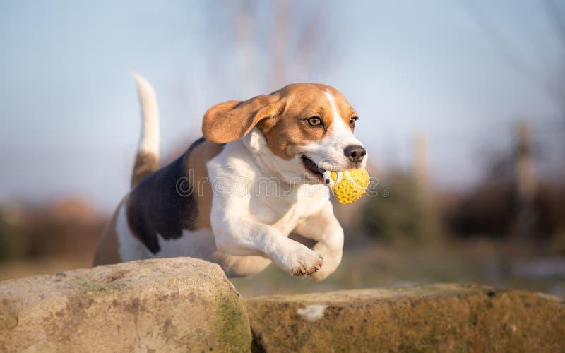 Spürhundhund, der mit Ball springt stockfotografie