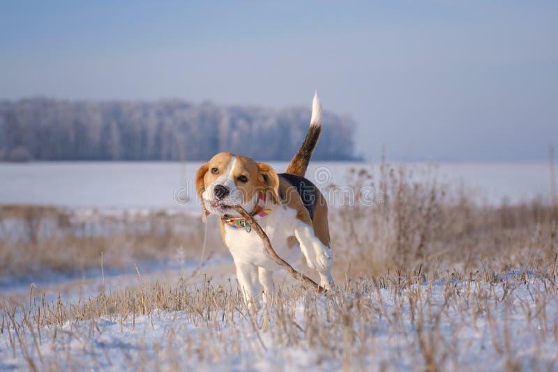 Spürhundhund, der mit einem Stock auf einem Weg im Winter spielt stockfoto