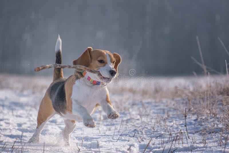 Spürhundhund, der mit einem Stock auf einem Weg im Winter spielt stockfotografie