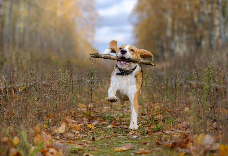 Spürhundhund, der mit einem Stock im Herbstwald spielt lizenzfreie stockbilder