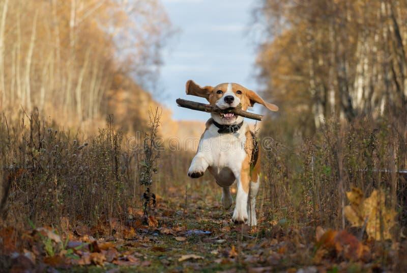 Spürhundhund, der mit einem Stock im Herbstwald spielt stockfotografie