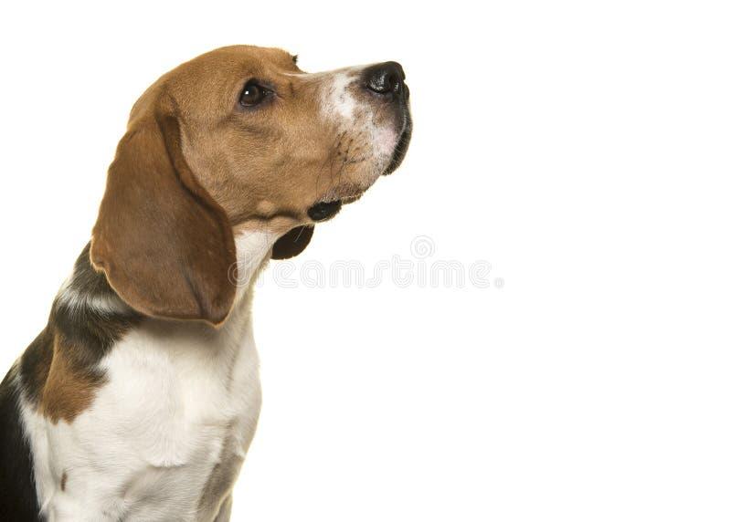 Spürhundhund, der oben von der Seite auf einem weißen Hintergrund gesehen schaut stockfotografie