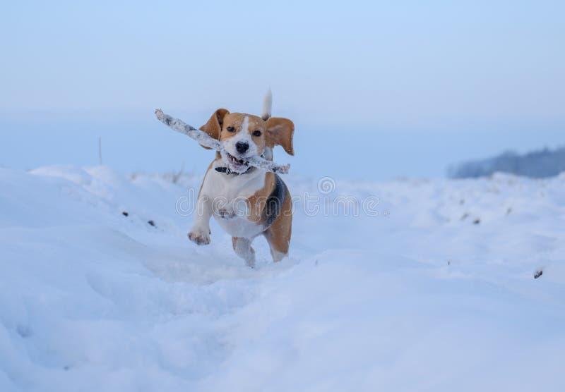 Spürhundhund, der um läuft und mit einem Stock im Schnee spielt lizenzfreie stockfotos